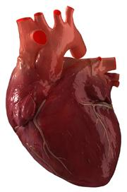 The risk of developing a form of heart disease has been linked to a