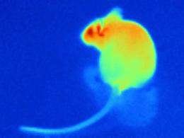 e505ec31f81 Image of a mouse resembling the thermal profile detected by infrared  sensors of pit vipers