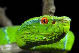 Portrait of Wagler's Palm Viper Palawan Philippines