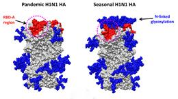 Structure of the influenza virus hemagglutinin from pandemic and seasonal strains