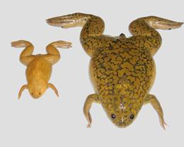 X. tropicalis (esq) e X. laevis (dir) @ Nature