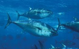 Pacific bluefin tuna are in high demand.