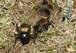 Male (left) and female crickets outside their burrow in a field in northern Spain.