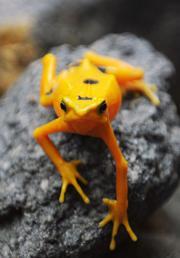 A Panamanian golden frog (Atelopus zeteki)