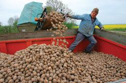 Amflora potatoes are the only genetically modified crop to be approved in Europe in the past decade.