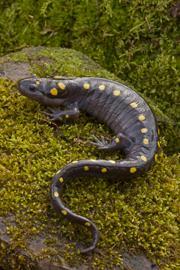adult salamander