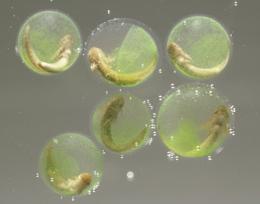 salamander embryos