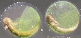 Algae cohabit with salamander embryos in their eggs &x2014; and inside their cells.