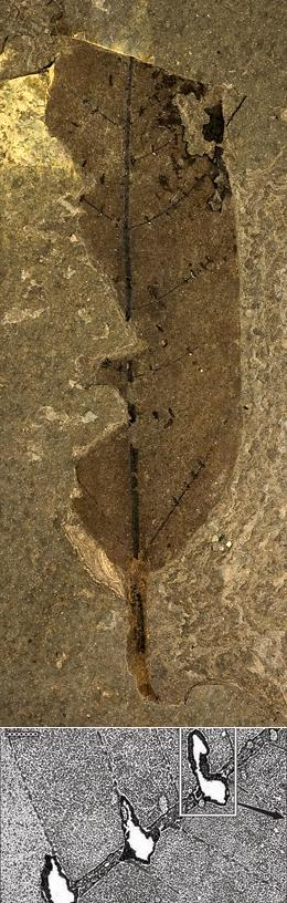 Fossilised leaf with zombie ant 'death bites'