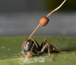 Ant parasitised by fungus