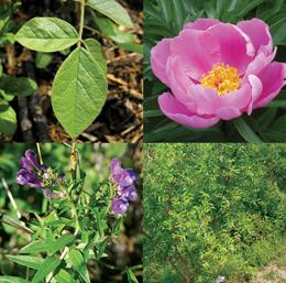 Shown (top left to bottom right) are Glycyrrhiza (Chinese licorice),