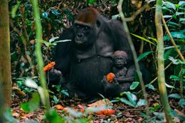 Mother and infant gorilla (Gorilla gorilla) near the GT field site in northern Republic of Congo