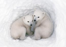 Polar Bear Cubs in a Snow Den
