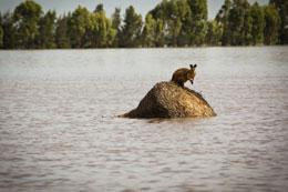 A wallaby stands on a large round hay bail trapped by rising flood waters outside the town of Dalby in Queensland, Australia Thursday, Dec. 30, 2010