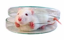 mouse in a dish