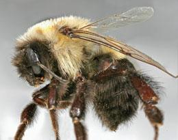 Test case: researchers will evaluate programs assembling this bee's genome.
