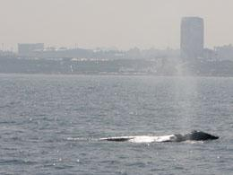 An unusual pilgrimage: a grey whale spotted off the coast of Israel.