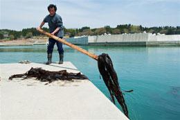 福島核電廠外洩的輻射,嚴重衝擊到像是海帶等的水生生物。圖片來自:綠色和平。