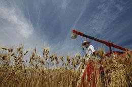 Japanese wheat farmers are unlikely to reap a radioactive harvest in future years.