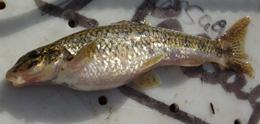 Gudgeon downstream of a wastewater-processing plant had swollen abdomens and other abnormalities.