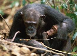 A female chimpanzee in the Kasakela community in Gombe, Tanzania, shows her offspring how to use a stem as a tool to remove termites from a mound.