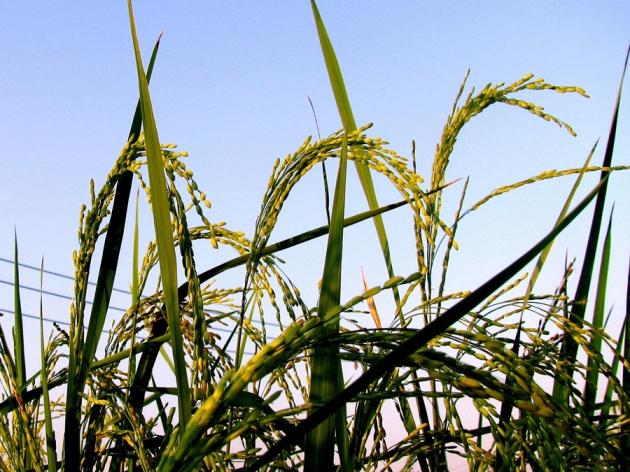 英国自然杂志报道抗除草剂转基因作物有利于杂草竞争(英文) - 蒋高明 - 蒋高明的博客
