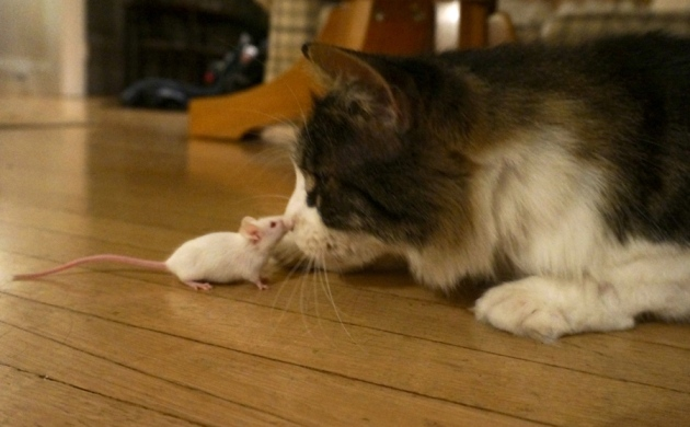 Parasite makes mice lose fear of cats permanently : Nature
