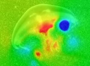 vortex de água em rotação cria altas pressões (vermelho/laranja) @ Brad Gemmell/Nature
