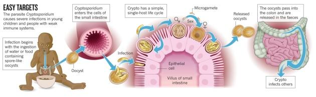 cryptosporidium coccidi essay