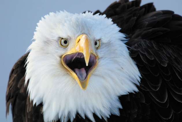 The Bald Eagle One Of Many Species That Benefited From Endangered Act