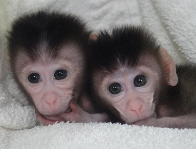 First Monkeys With Customized Mutations Born Nature News Comment They pick so quick what you want to teach them. first monkeys with customized mutations