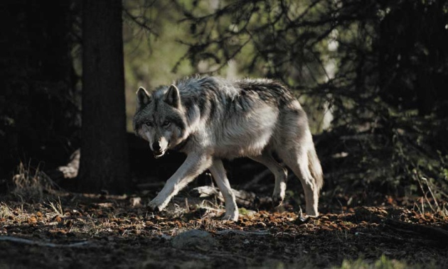 rethinking predators legend of the wolf nature news comment