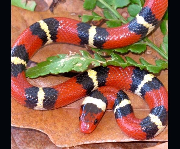 Snakes mimic extinct species to avoid predators