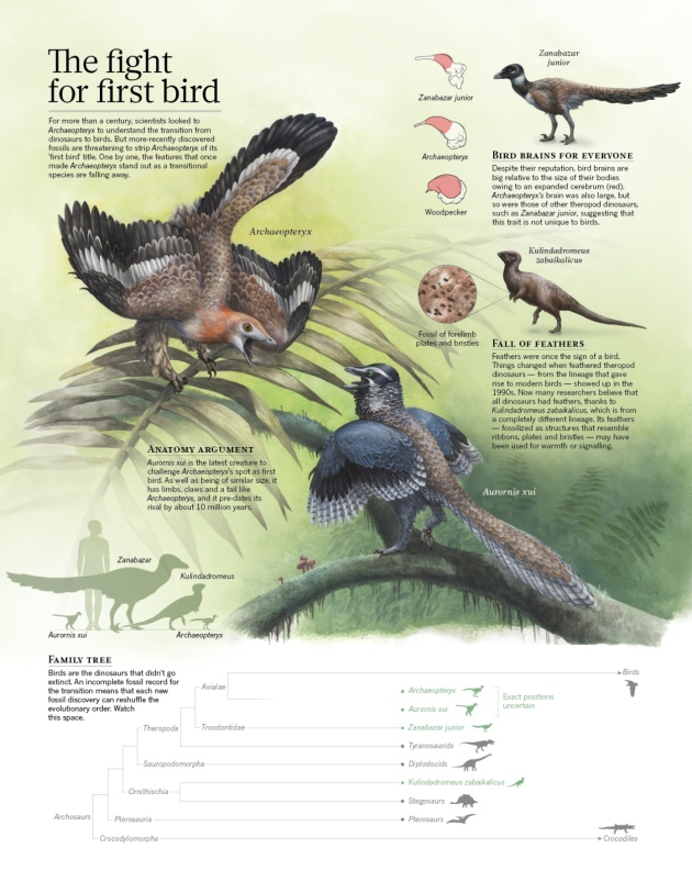 Rival species recast significance of 'first bird' : Nature News ...