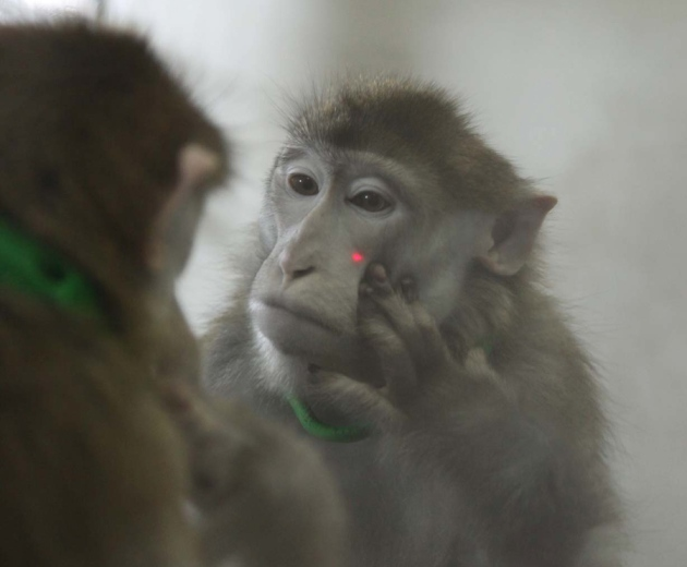 Monkeys seem to recognize their reflections nature news for Se regarder dans le miroir