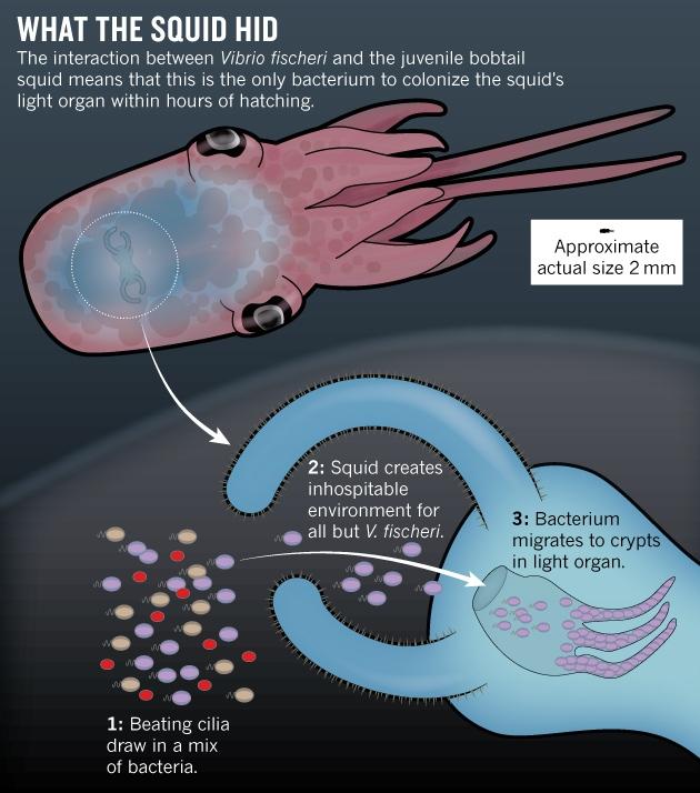 hawaiian bobtail squid and vibrio fischeri relationship counseling