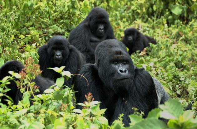 @ Nature/Gorilla Doctors/UC Davis
