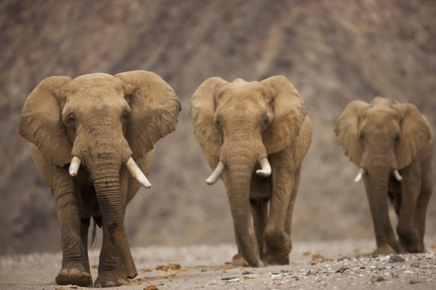 How elephants avoid cancer : Nature News & Comment