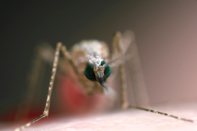 This genetically-modified mosquito with red fluorescent eyes could help eliminate malaria