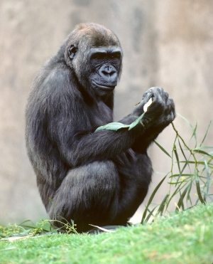 大猩猩基因组测序完成:Gorilla Joins the Genome Club - 喜欢吃桃子 - wangyufeng的博客