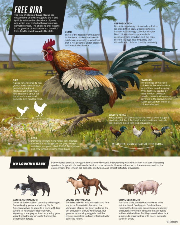When chickens go wild Nature News Comment