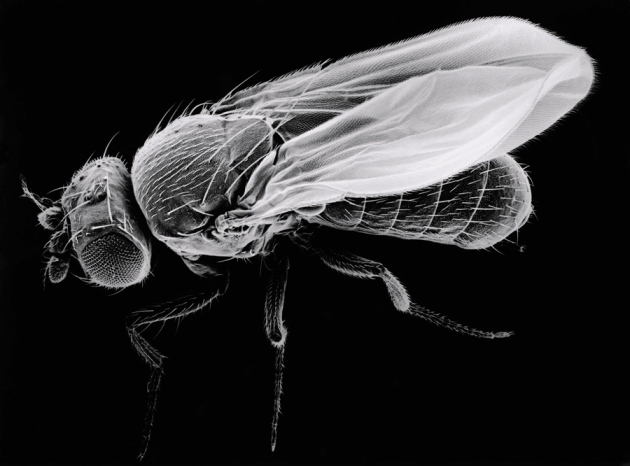 Drosophila melanogaster: The Fruit Fly.