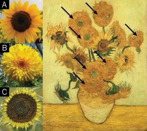 essay on flower sunflower