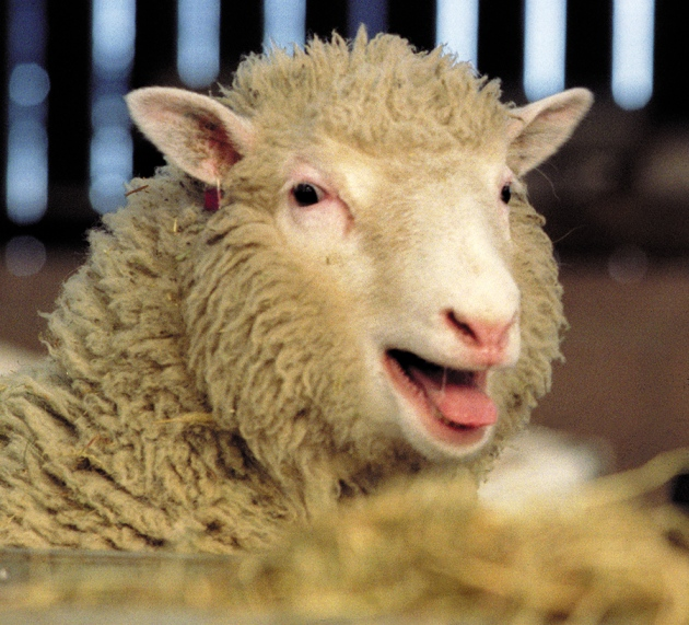 dolly the sheep Dolly the sheep, the first mammal clone, was a wonder during the 1990s now chinese scientists say they've duplicated that experiment.