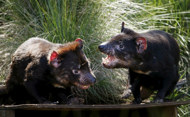 Tasmanian devils are becoming immune to their terrible face cancer