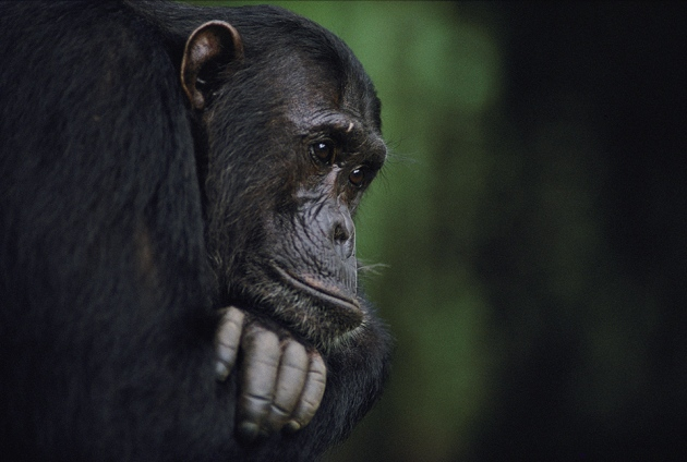 apes can tell when you ve been duped nature news comment