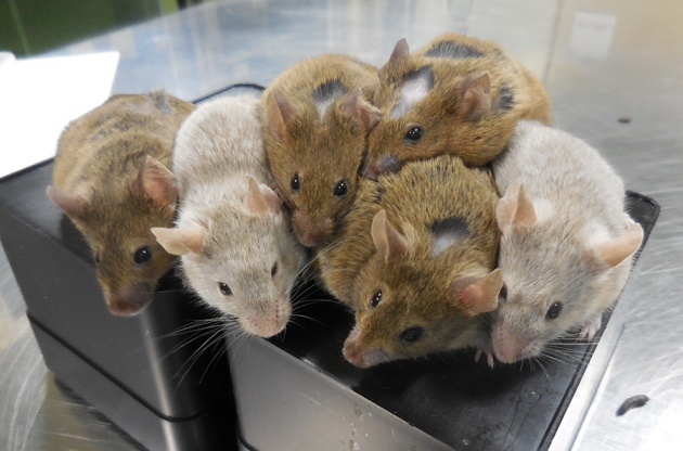 Scientists grow mouse eggs from stem cells in lab