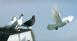 Gołębie pocztowe Fairwyna 1.10540