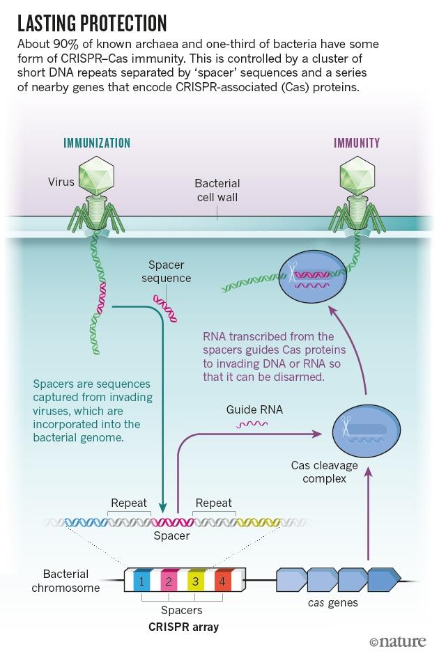 Five big mysteries about CRISPR's origins : Nature News & Comment