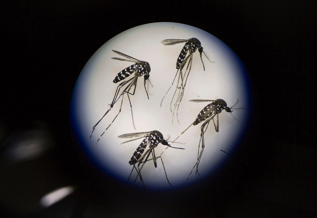 Adult female mosquitoes modified by gene drives to be            infertile.